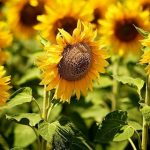 Because it is sunflowers time, know more about them…