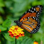 How to attract butterflies to your garden…