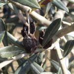 Biological Battle to Fight Pests and Diseases of Olive Trees –  News on Agricultural Investigation